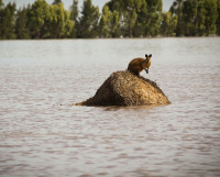 2011_1_12_Wallaby stranded by floodwaters